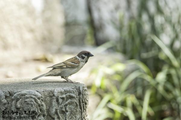 观鸟入门 常州城市常见鸟类40种