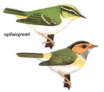 棕脸鹟莺 Rufous-faced Warbler