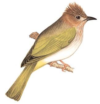绿翅短脚鹎 Mountain Bulbul