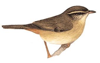巨嘴柳莺 Radde's Warbler